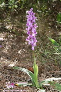 Orchis olbiensis